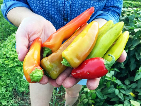Deirdre Jenkins picked peppers Friday, Sept. 7, 2018, in the shared garden portion of the Forest Street Community Garden in Eau Claire, WI. Gardeners at the site have donated thousands of pounds of food in recent years to The Community Table, providing those in need with fresh, healthy options.
