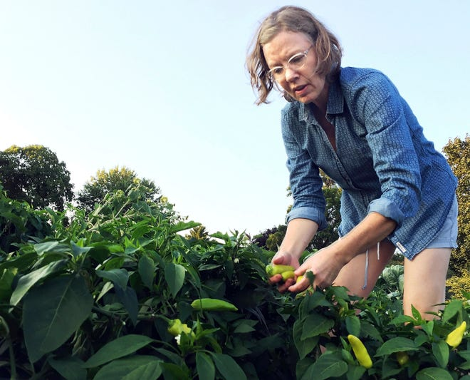 Deirdre Jenkins picks peppers Friday, Sept. 7, 2018, in the shared garden portion of the Forest Street Community Garden in downtown Eau Claire, WI. Gardeners at the site have donated thousands of pounds of food in recent years to The Community Table, providing those in need with fresh, healthy options.
