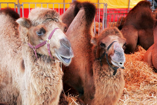 A spooked circus camel injured several children and one adult at Shrine Circus in Pittsburgh over the weekend.