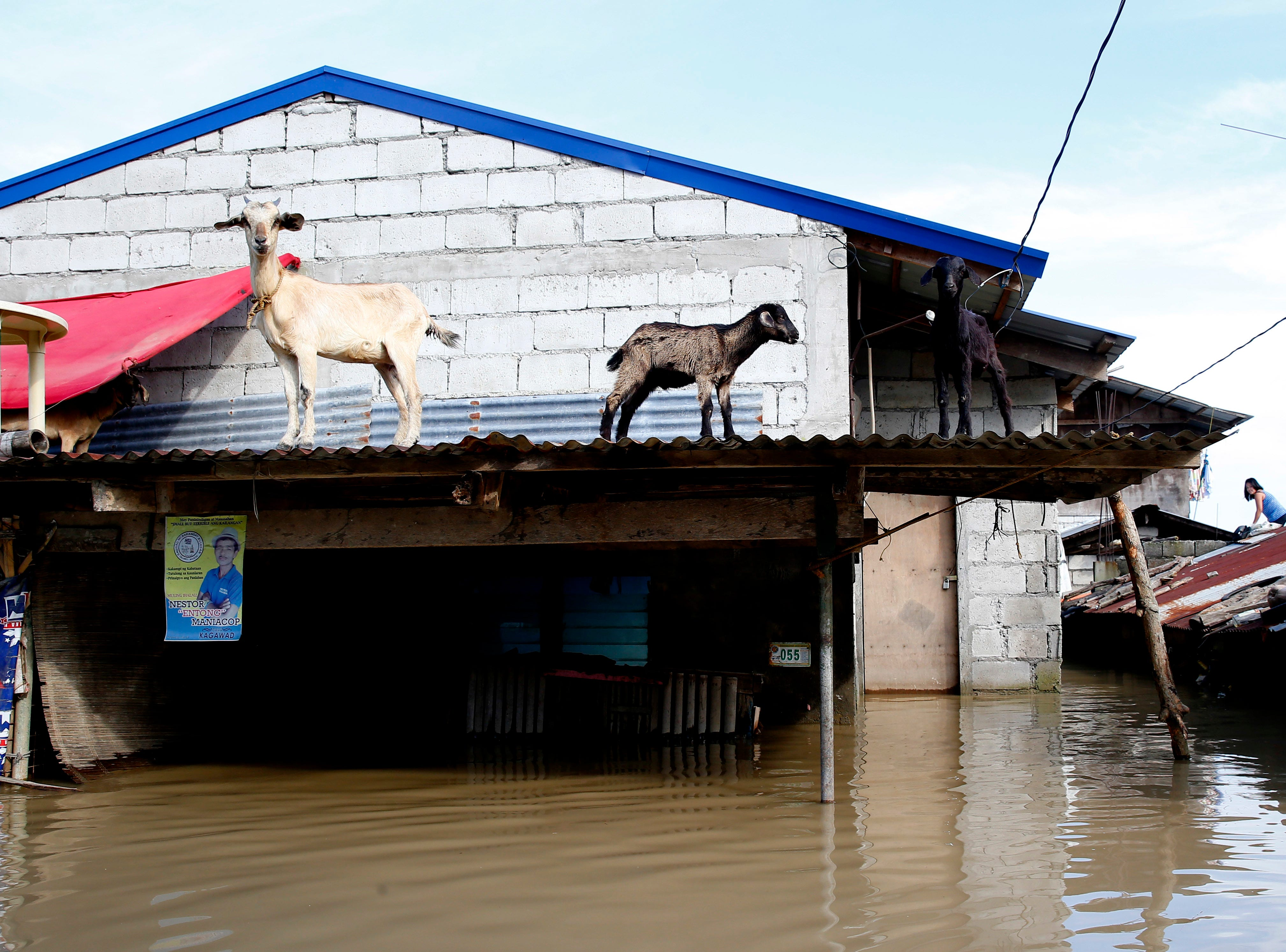 Goats stand on the roof amidst flooding brought about by Typhoon Mangkhut which barreled into northeastern Philippines during the weekend and inundated low-lying areas in its 900-kilometer wide cloud band, Monday, Sept. 17, 2018 in Calumpit township, Bulacan province north of Manila, Philippines.