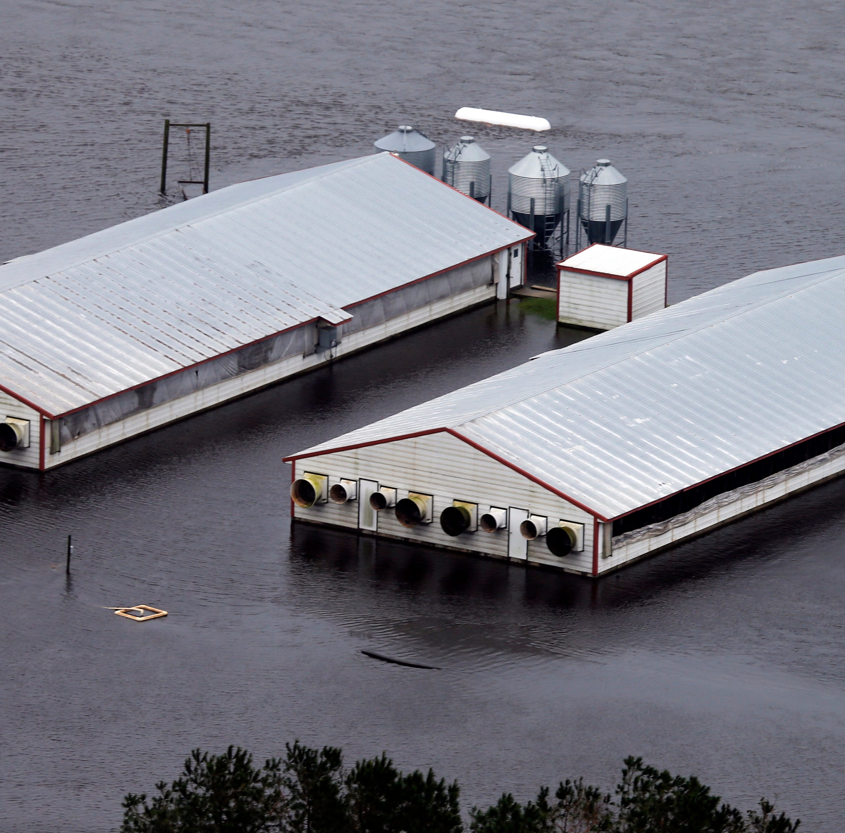 Florence: North Carolina hog farm lagoons breached after historic flooding
