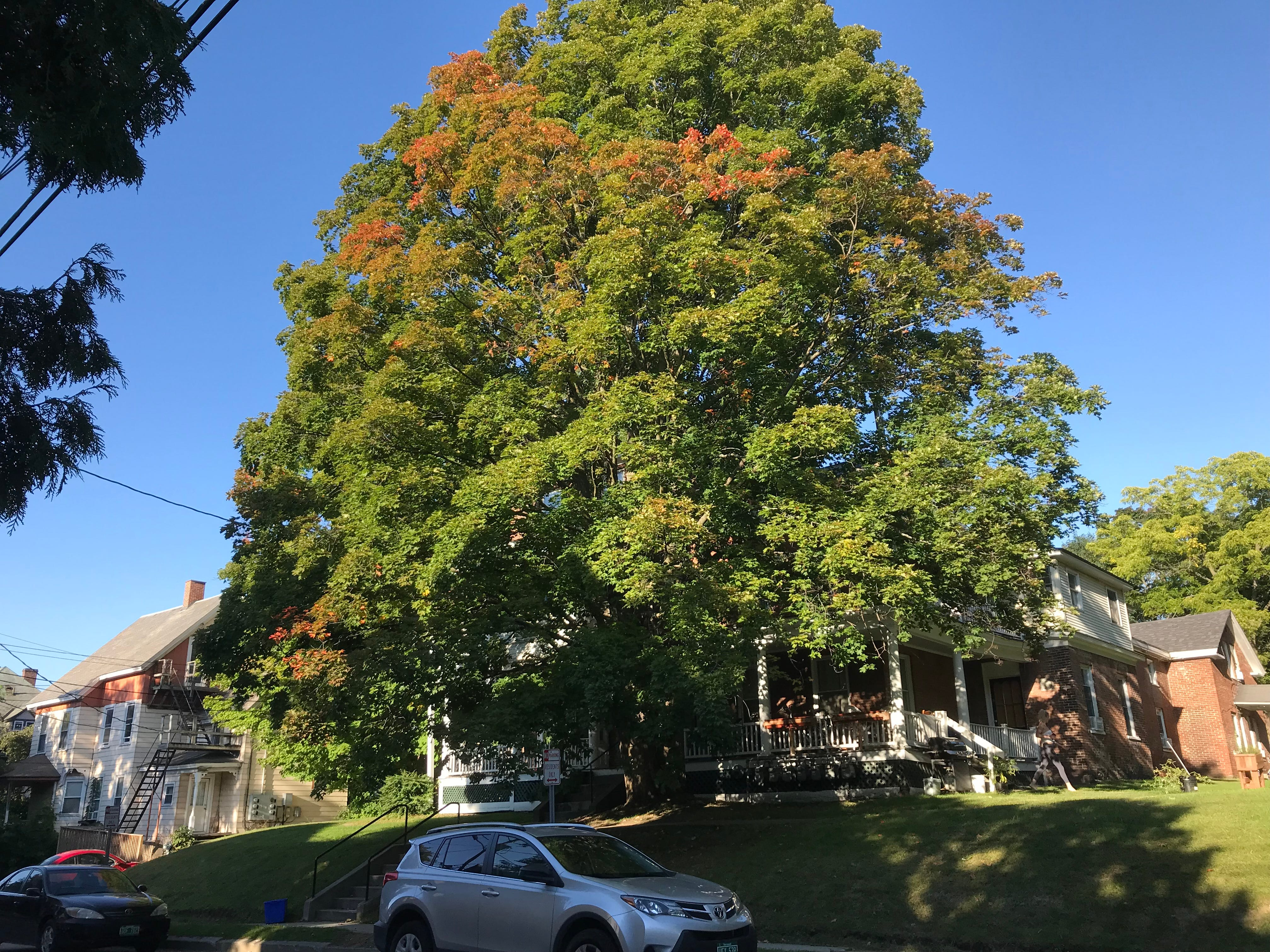 A maple tree blushes on on south Church Street in Burlington on Thursday, Sept. 13, 2018.