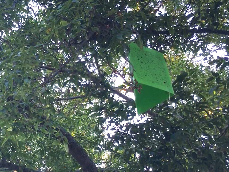A baited insect trap — helpful in determining weather emerald ash borers are present — hangs in an ash tree on Appletree Point Road in Burlington on Sept. 15, 2018.