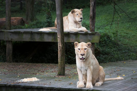 Prosperity, nearly 21, left, and her daughter, Gracious, 'Gracie,' nearly 18, are white lions that live in the Siegfried and Roy White Lion exhibit at the Cincinnati Zoo and Botanical Garden.