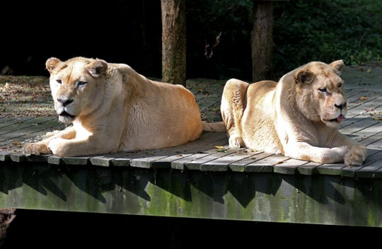 Prosperity, nearly 21, left, and her daughter, Gracious, 'Gracie,' nearly 18, are white lions that live in the Siegfried and Roy White Lion exhibit at the Cincinnati Zoo and Botanical Garden. The white lion is a color mutation of the African lion.