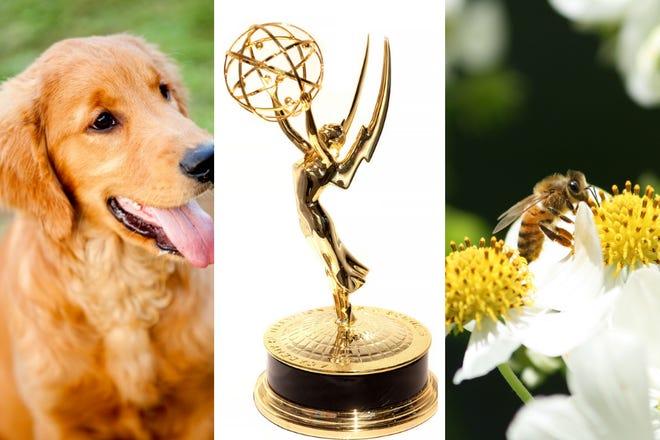 Golden retriever, Emmy trophy, bee.