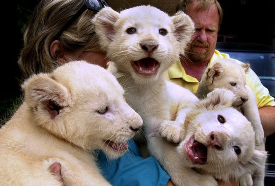 On April 26, 2001, Dawn Strasser, head nursery keeper at the Cincinnati Zoo and Botanical Garden and Michael Dulaney, curator of mammals, hold three-week-old white lion cubs following a press conference with Las Vegas entertainers, Siegfried and Roy.