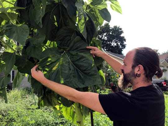 Michael Purdy of Ferndale shows off a leaf on his giant sunflower plant.