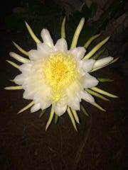 Crazy beautiful night-blooming cereus