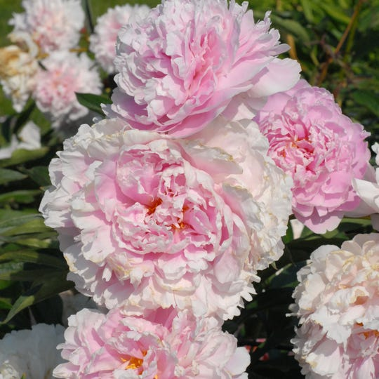 """Sarah Bernhardt,"" an heirloom peony introduced in 1906, is named for the dramatic actress."