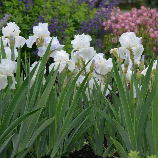 """""""Immortality"""" bearded iris blooms in spring and then again in late summer."""
