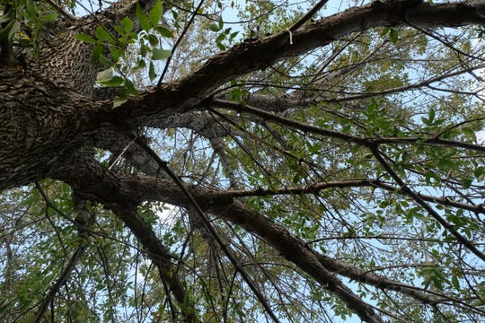 An early sign of an Emerald Ash Borer infestation is the thinning of the tree's crown.