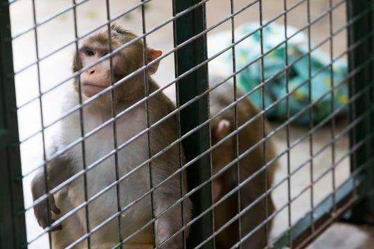 Rhesus macaques River (left) and Batman.