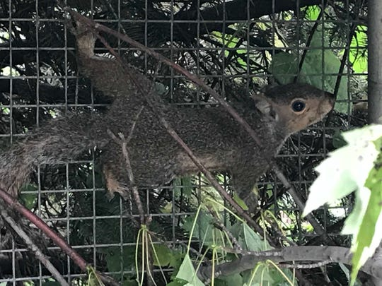 A baby squirrel whose tail was snarled with four of his siblings before wildlife rehabilitators at the Wisconsin Humane Society separated them, is recovering in an outdoor enclosure this week. (Photo: Meg Jones/Milwaukee Journal Sentinel)