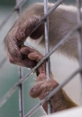 The hands of River, a rhesus macaque.