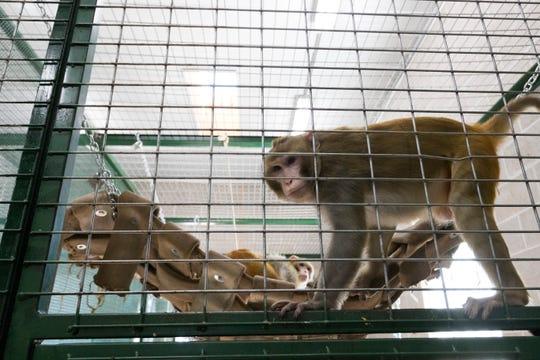 River, a rhesus macaque.