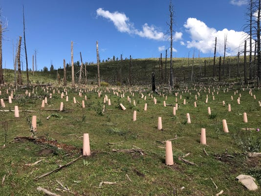Lincoln National Forest reforesting