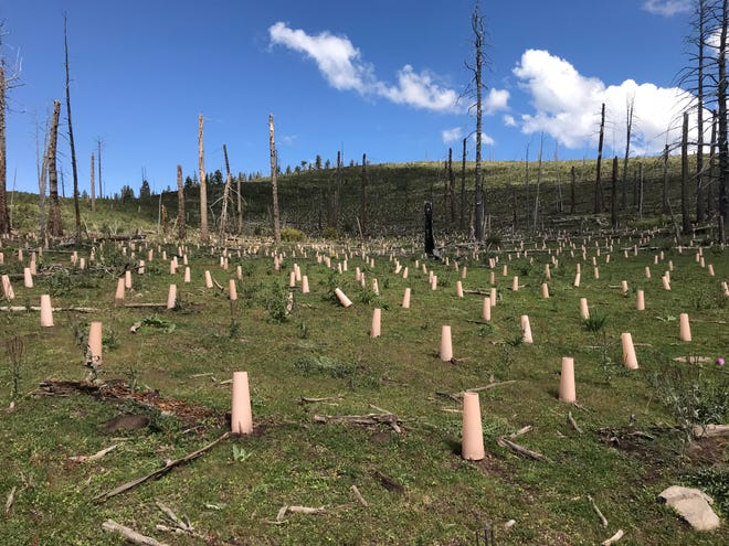 Seedlings planted this year in the area burned by the 2000 Scott Able Fire on the Sacramento Ranger District