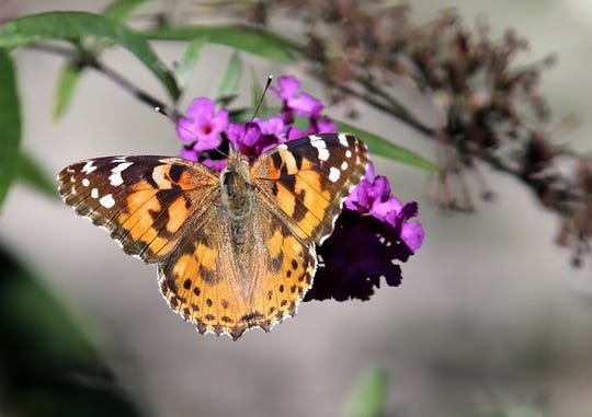 In spring, a painted lady butterfly begins moving north as temperatures become too warm in Mexico. Along the way, she mates and reproduces.