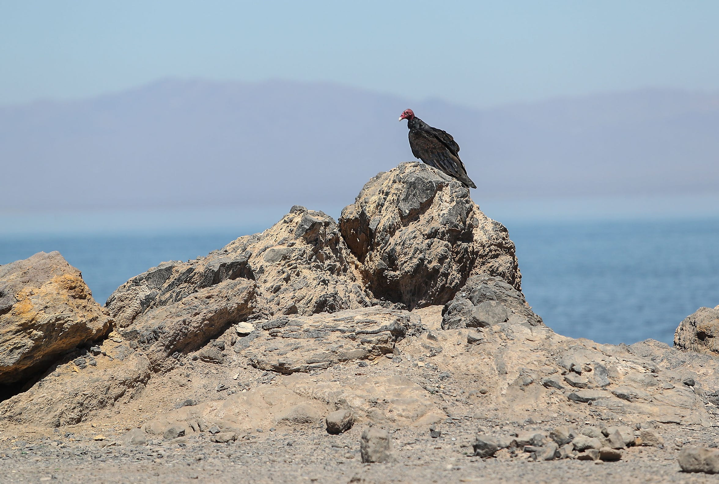 A turkey vulture at the Salton Sea, seen near the Red Hill Bay restoration project site on Sept. 12, 2018.