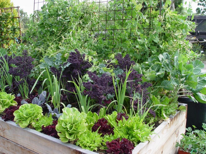This one box produced all of our favorite winter crops:  kale, broccoli, beets, purple cabbage, lettuces, lemongrass and snow peas.