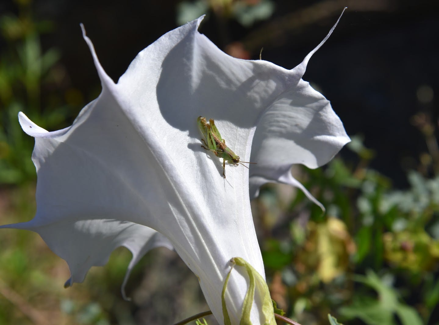 A grasshopper alights on a sacred datura flower.
