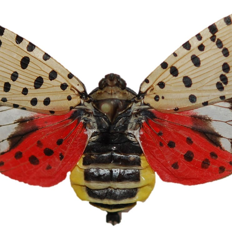 Destructive spotted lanternfly spreading south through Delaware