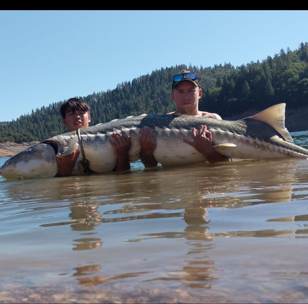 Anglers rescue 'monster' 8-foot-long sturgeon in Lake Shasta