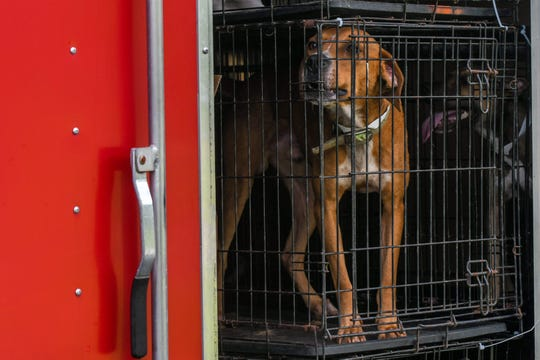 Shelter dogs from North Carolina arrive at the Brandywine Valley SPCA in Georgetown on Tuesday, Sept 18, 2018. The shelter is serving as an emergency hub for animals displaced by Hurricane Florence.