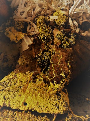 The plasmodium of Fuligo septica slime mold consumes bacteria and fungi inside the worm bin.