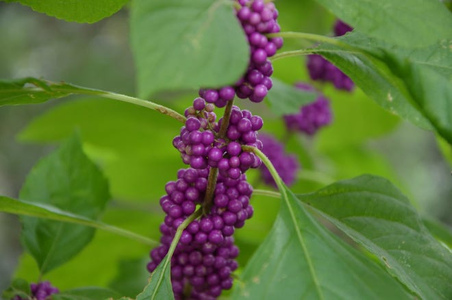 Maturing beautyberries are currently offering stark contrast to their foliage. This native species, along with many others, are producing food for overwintering wildlife.