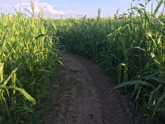 The El Paso Corn Maze opens Sept. 28.