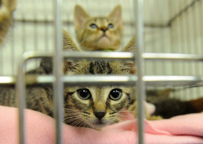Kittens are available for adoption at the South Jersey Regional Animal Shelter.