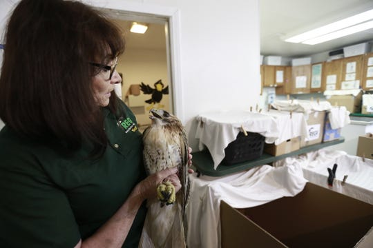 Executive director Marge Gibson works with an injured red-tailed hawk Thursday, Sept. 13, 2018, at Raptor Education Group Inc. in Antigo, Wis.