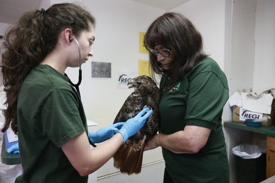 Executive director Marge Gibson, right, and Colombian veterinary student Laura Sanchez check vital signs of an injured hawk Thursday, Sept. 13, 2018, at Raptor Education Group Inc. in Antigo, Wis.