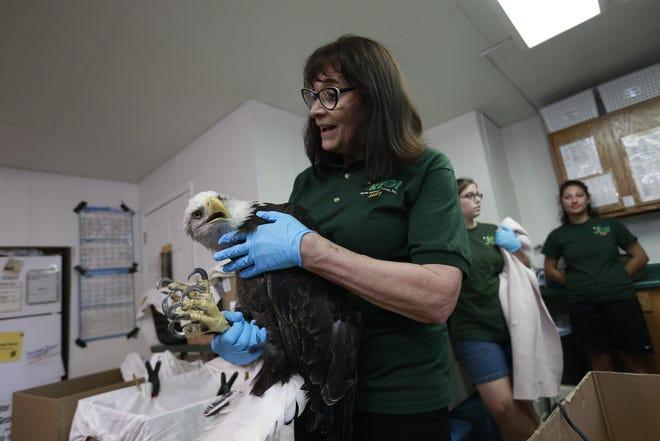 Marge Gibson, executive director of Raptor Education Group Inc., handles a bald eagle  Sept. 13 at REGI's clinic in Antigo.