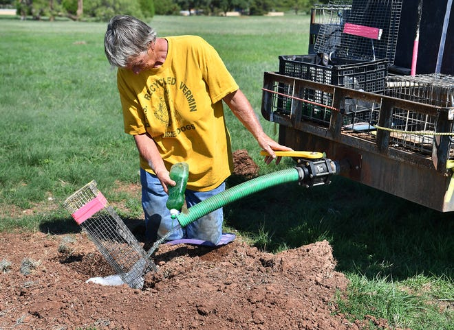 Lynda Watson, of P.M.S. Prairie Dog Rescue and Relocation Service, runs soapy water into a prairie dog burrow in Kiwanis Park Tuesday. The animals have over-populated the park and some are being relocated.