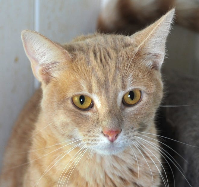 Dudley is a 1-year-old, male, orange tabby. He is neutered and does not mind other cats. Dudley and his friends are looking forward to meeting you at the Humane Society of Wichita County.
