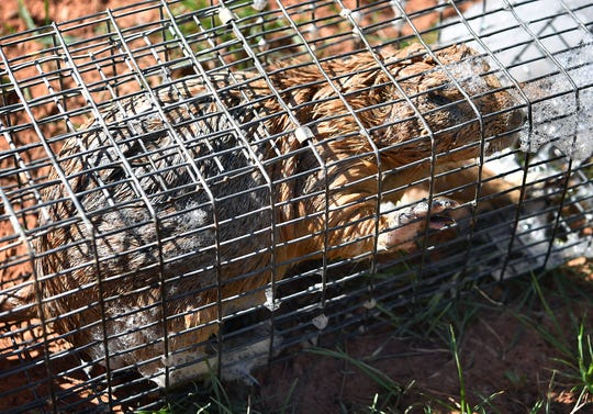 A freshly-captured prairie dog is one of dozens being removed from Kiwanis Park where over-population has becom a concern.