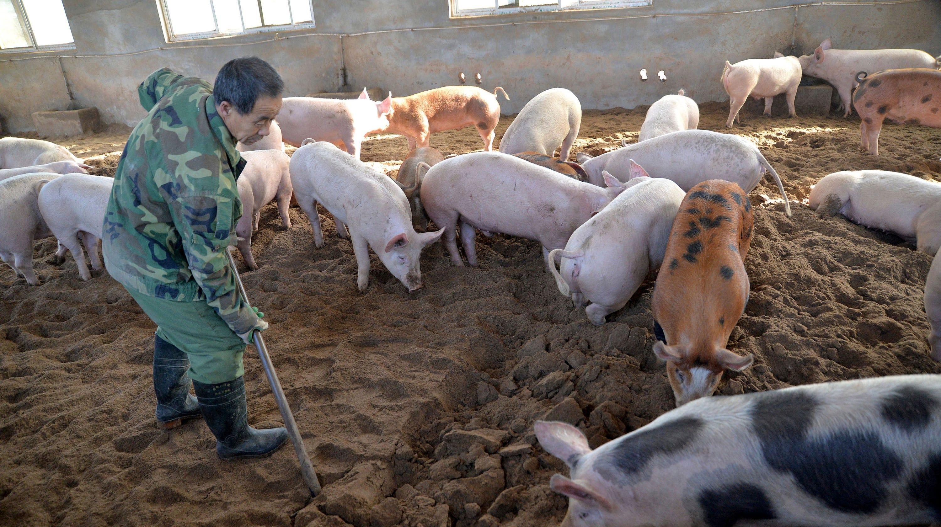 china s pork industry under threat of deadly pig virus swine fever