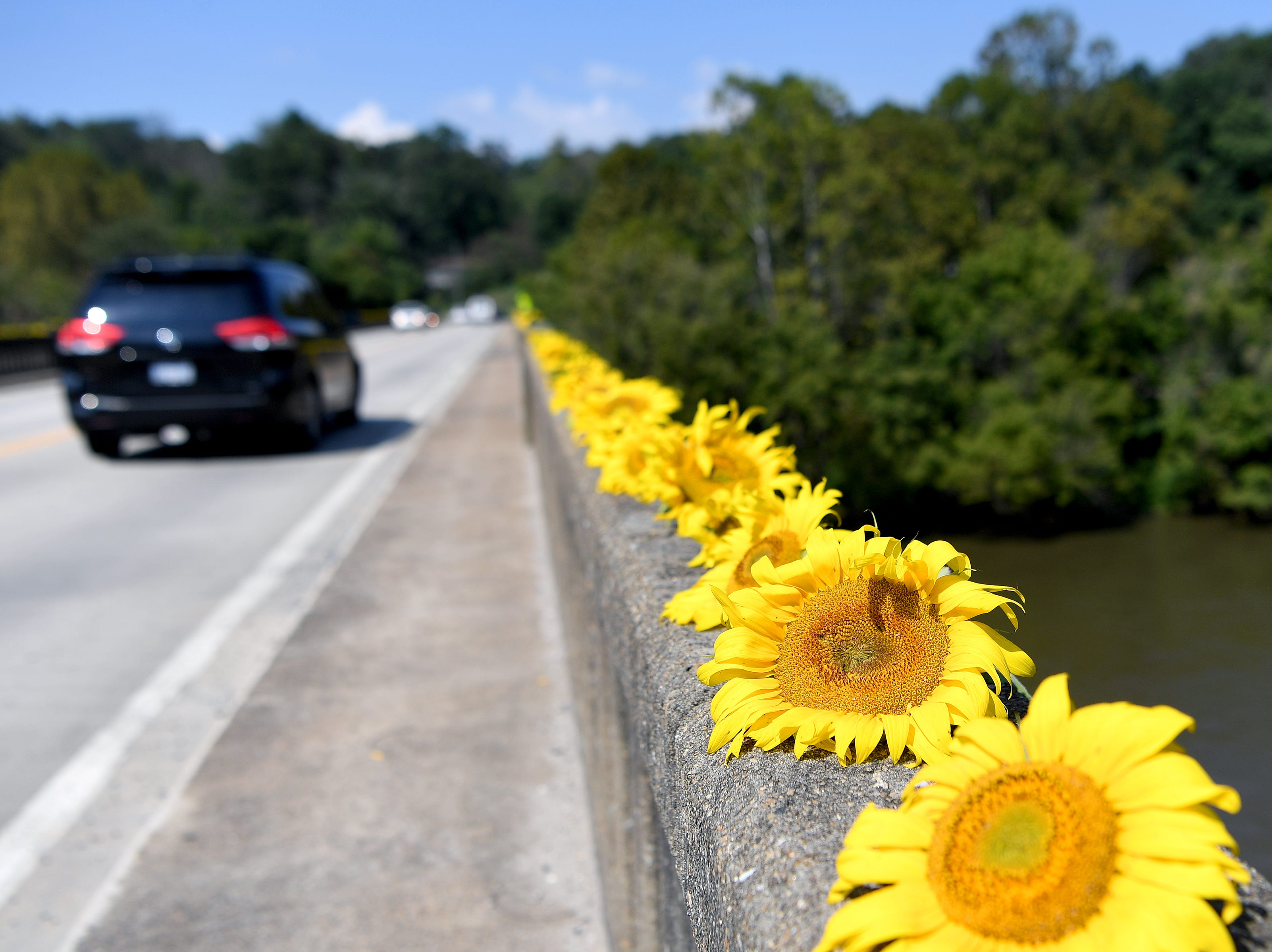 Hundreds of sunflowers decorated the sides of the Craggy Bridge in Woodfin on Sept. 19, 2018. The flowers came from the organic farm in the Olivette community and were placed to simply spread joy and community.