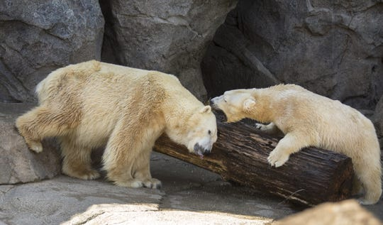 Little One, left, and Anana do a little sparring in the Lords of the Arctic habitat at the Cincinnati Zoo and Botanical Garden.