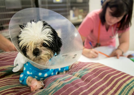 Pogo was rescued from a puppy mill with fur so matted that it cut off circulation in one of his legs. The Gulf Coast Humane Society had to amputate one of his legs and is nursing him back to health.