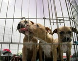 The Cape Coral City Council is considering banning the sale of dogs and cats at pet stores.