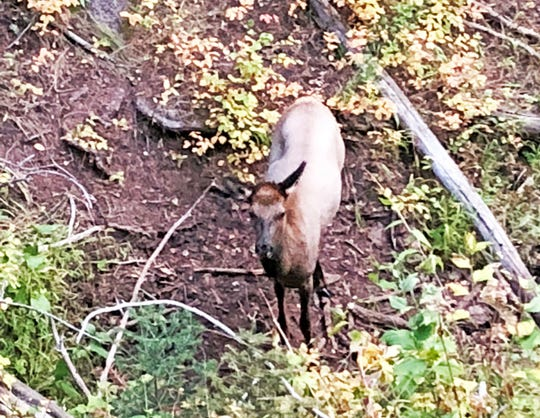 A young cow elk scans the area before stepping into a clearing to drink from a small hillside spring.
