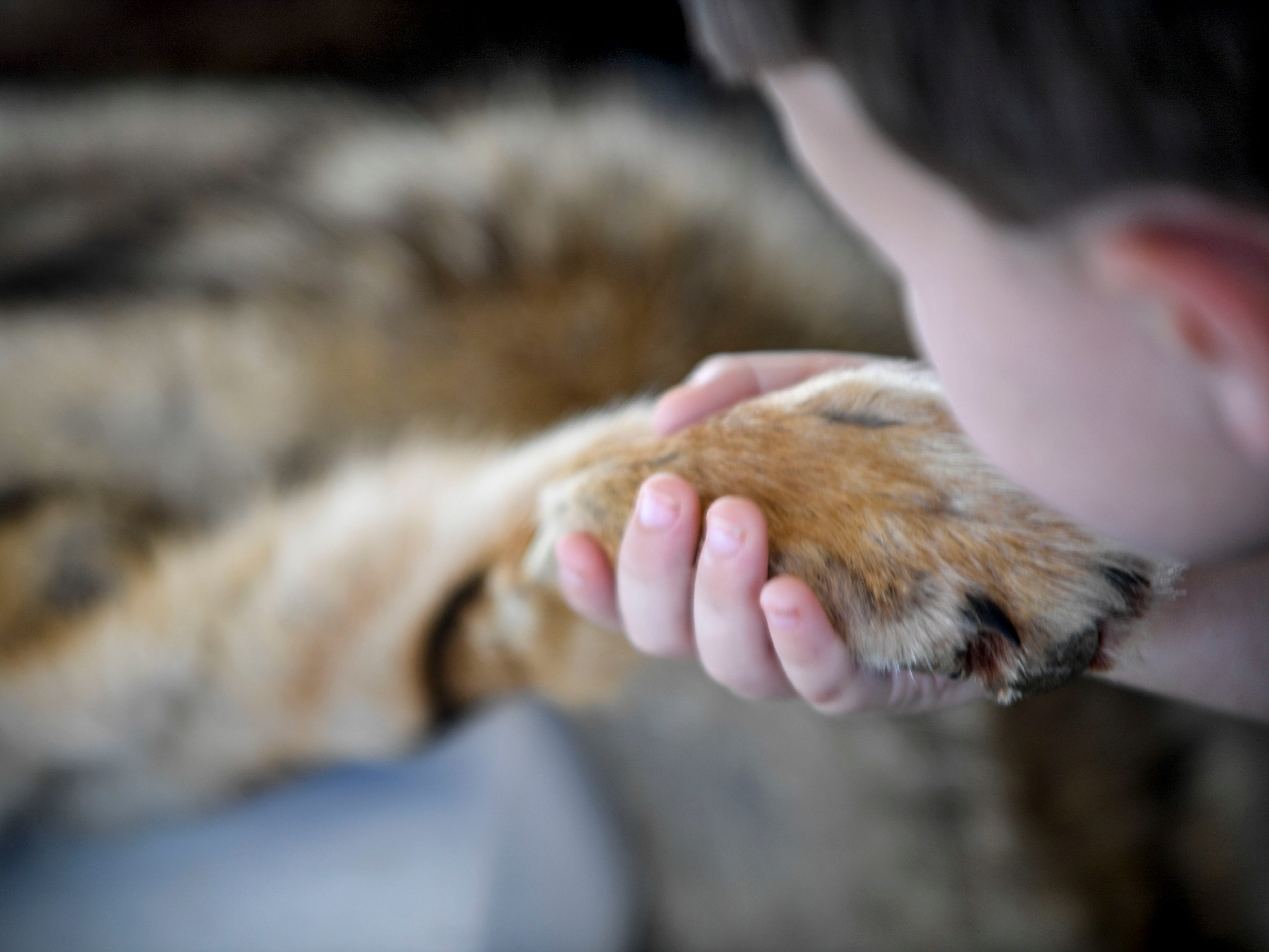 A young boy feels the pelt of a grey fox at the Day of Champions celebration held at Jackson Fairgrounds Park in Jackson, Tenn., on Wednesday, Sept. 19, 2018.