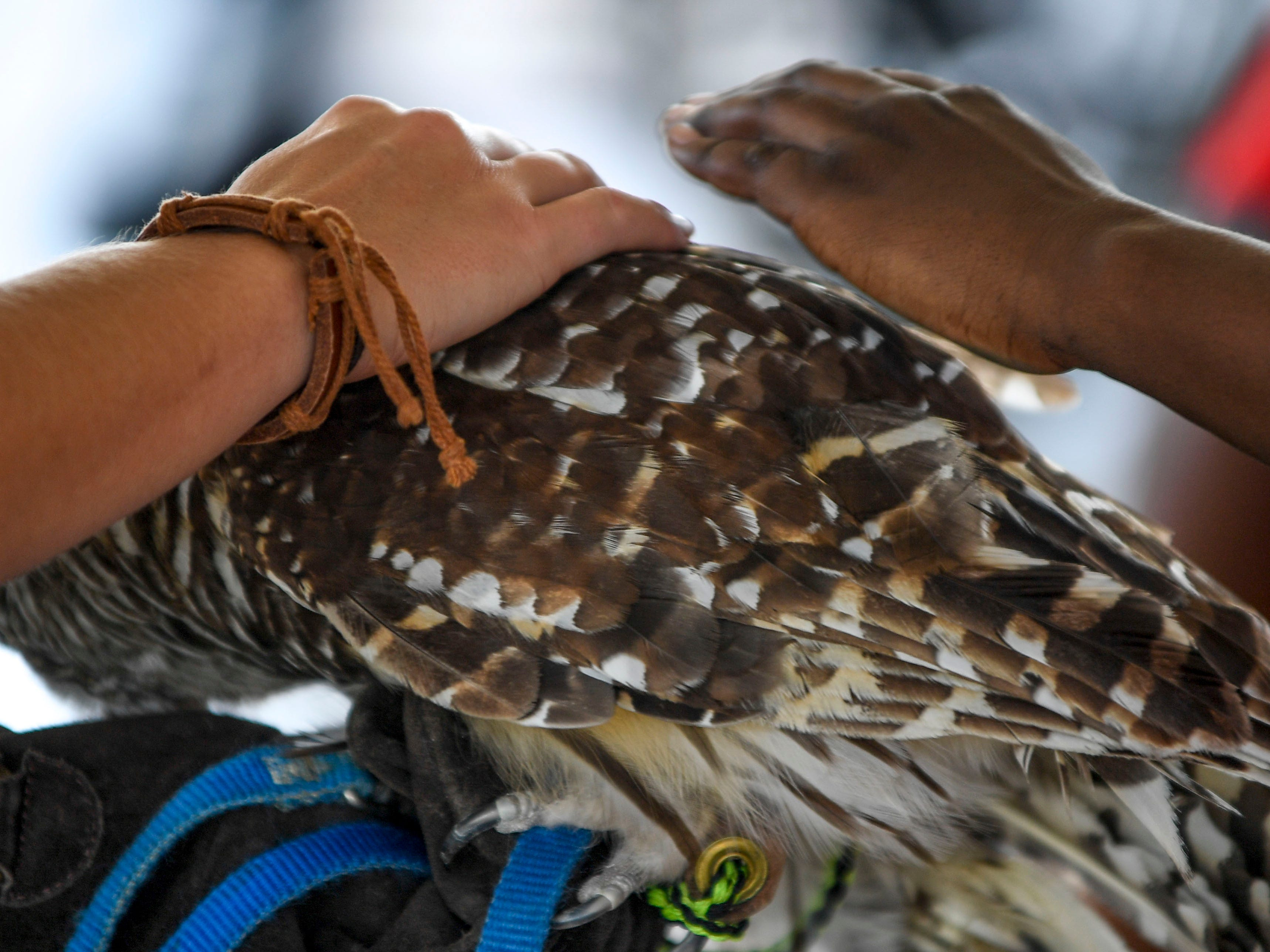 Attendees get the opportunity to pet a barred owl at the Day of Champions celebration held at Jackson Fairgrounds Park in Jackson, Tenn., on Wednesday, Sept. 19, 2018.