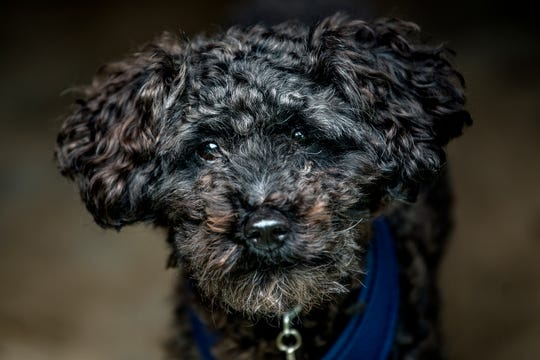 Simon, a toy poodle, who is visiting Animal Placement Bureau's Lisa Wallace on Thursday, Sept. 13, 2018, at her home in Lansing, lived with her for a year before finding a permanent home.