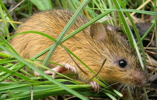 New Mexico Meadow Jumping Mouse