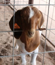 A goat at the Otero County Fair.